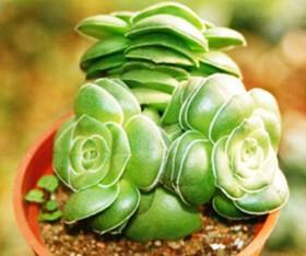 纳马夸兰多肉植物休眠期图片