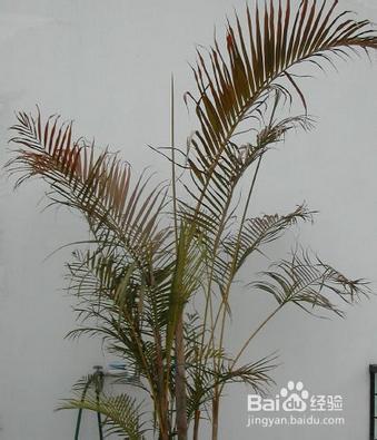 散尾葵的新叶顶不出来图片