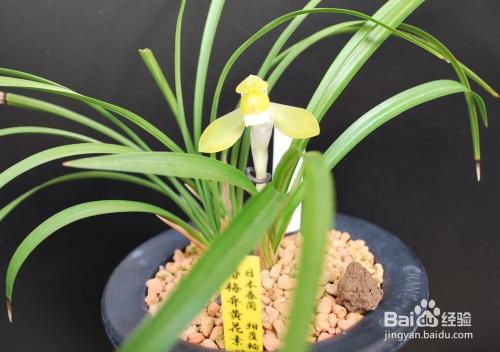 白兰花的养殖方法和注意事项视频图片