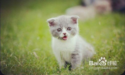 英短蓝猫会认主人吗图片