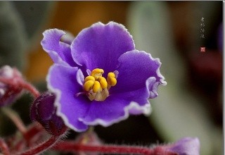 紫色紫罗兰图片图片