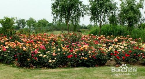 月季花的养殖方法图片
