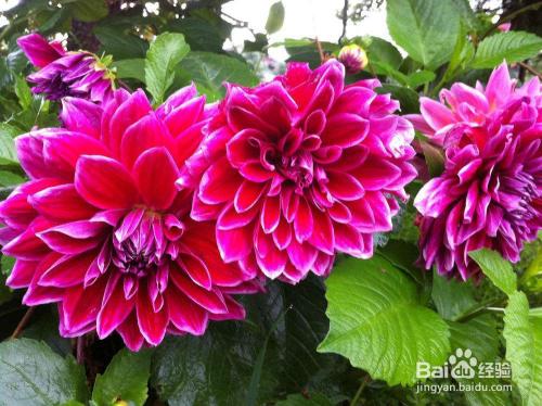 芍药花家庭种植禁忌图片