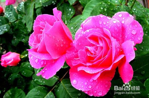 盆栽月季的养殖方法和注意事项图片