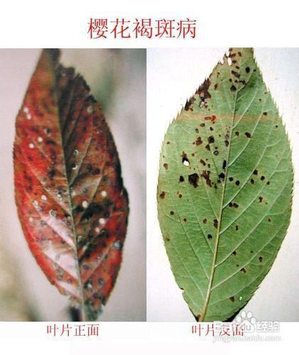 樱花常见病害细菌性图片