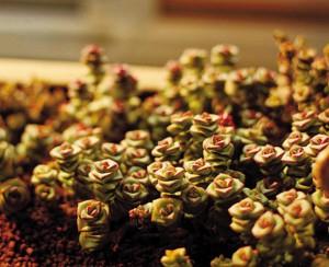 多肉植物休眠期图片图片