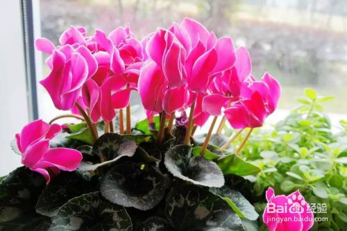 适合家庭养的开花植物图片