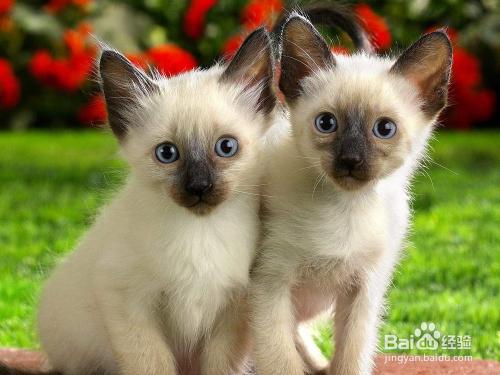 暹罗猫图片图片