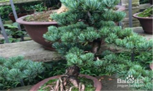 五针松盆景冬季养护图片