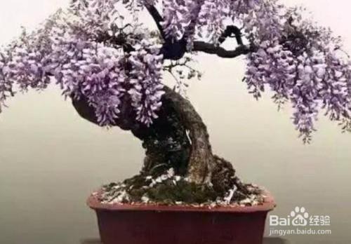 紫藤盆景修剪视频教学图片