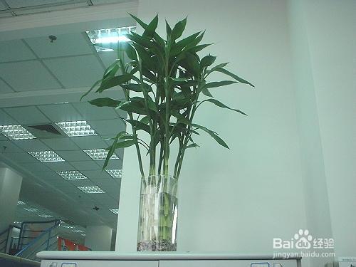 富贵竹黄叶是什么原因图片