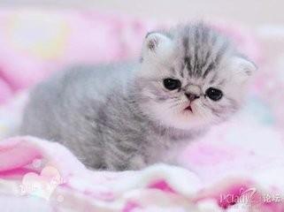 波斯猫多少钱一只幼崽图片