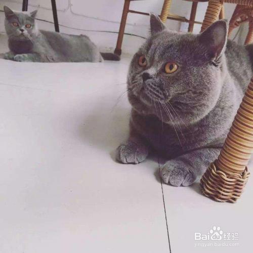 英短和美短串出来的猫图片
