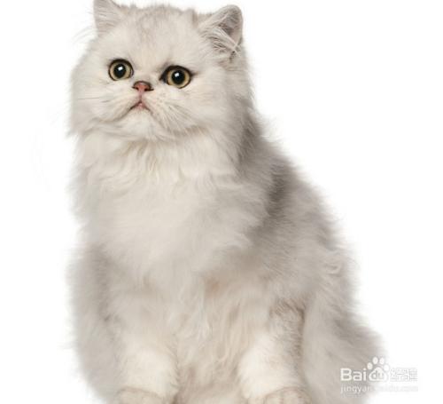 波斯猫什么颜色最贵图片
