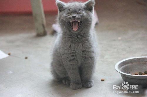 蓝猫和美短配种小猫图图片