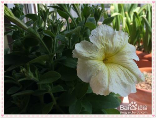 矮牵牛花的种植方法图片