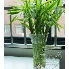 养富贵竹的好处图片