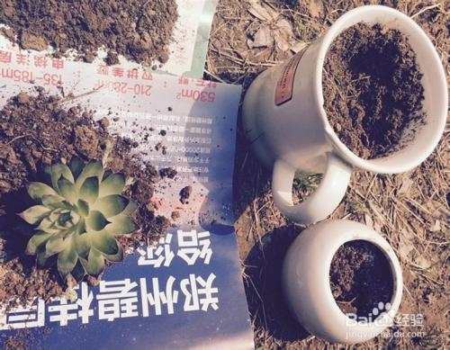佛珠多肉植物怎么移盆图片