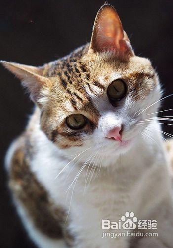 暹罗猫送人会抑郁死吗图片