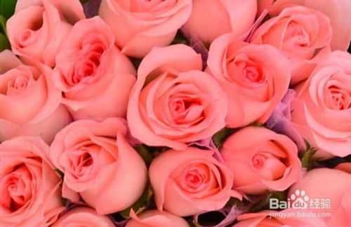 玫瑰花的花语是什么图片