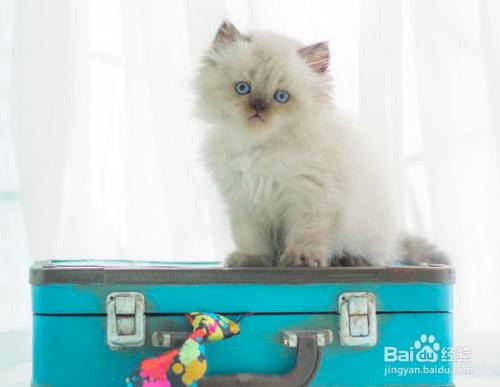 喜马拉雅猫和布偶猫图片