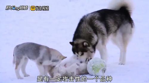 阿拉斯加雪橇犬咬人吗
