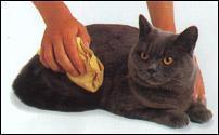 蓝白英短猫养的知识图片