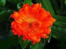 金盏菊扦插图片