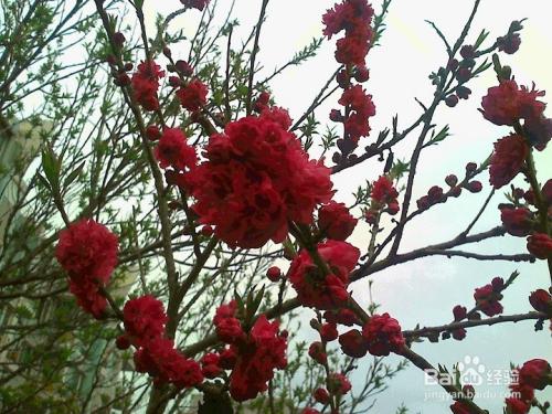 重瓣樱花有几种图片