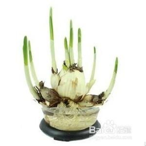 水仙花的养殖方法图片