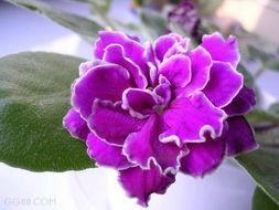 粉色紫罗兰花语寓意图片