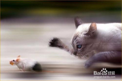 狸花猫多大会抓老鼠图片