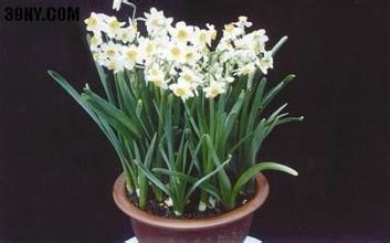 水仙花的繁殖方法视频图片