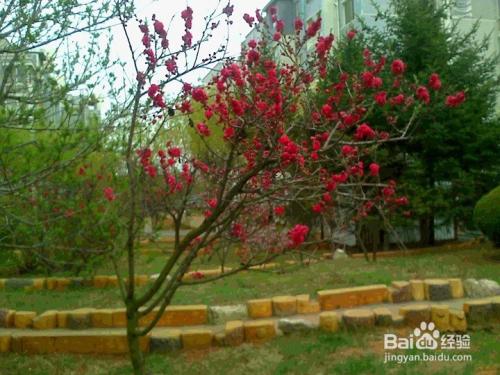 重瓣樱花图片