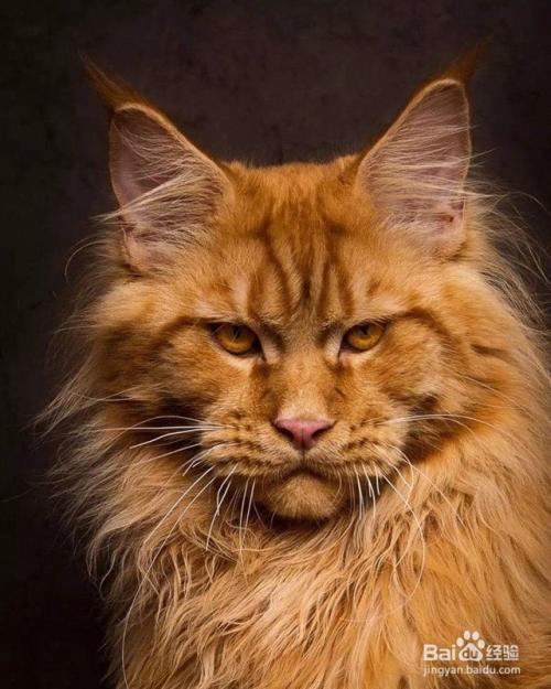 一岁的缅因猫大约多少斤图片