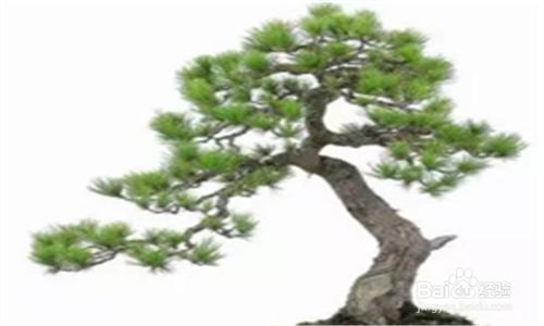 五针松盆景管理图片