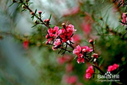 松红梅叶子卷怎么办图片