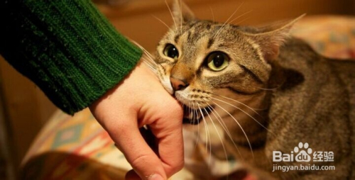 波斯猫咬人有事吗图片