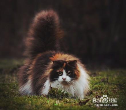 挪威森林猫是巨型猫吗图片