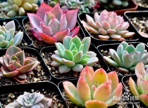 多肉植物怎么繁殖图片