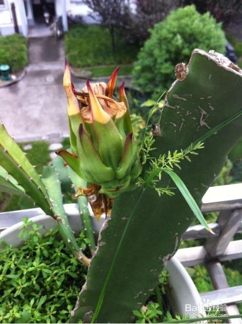 火龙果扦插种植图片