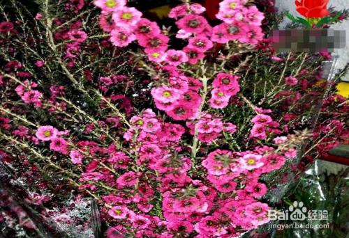 松红梅一年开几次花图片