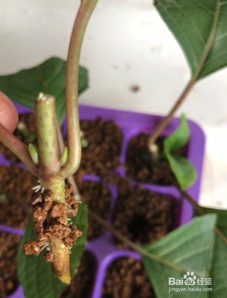 八仙花的扦插繁殖方法图片