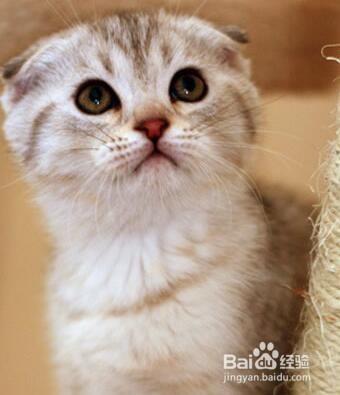 英国短毛猫一个月花费图片
