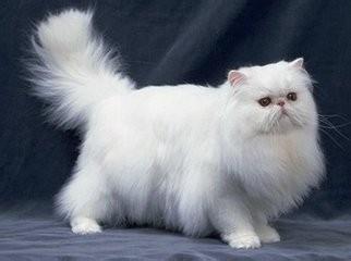 波斯猫多少钱一只图片