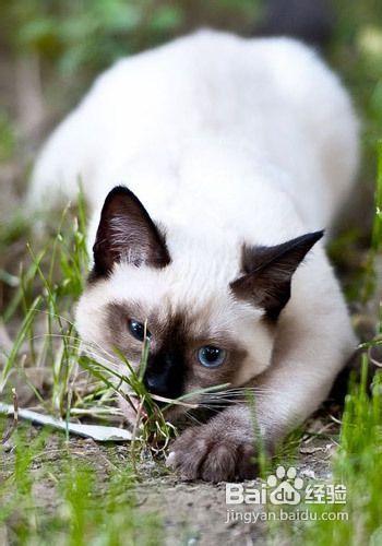 暹罗猫怎么训练寻回图片