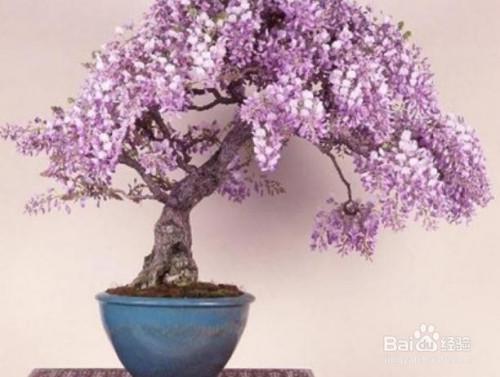 紫藤盆景修剪图解图片
