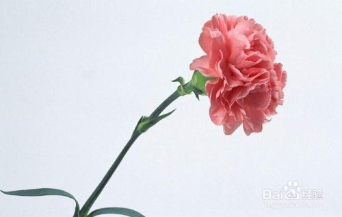 康乃馨花期有多长图片