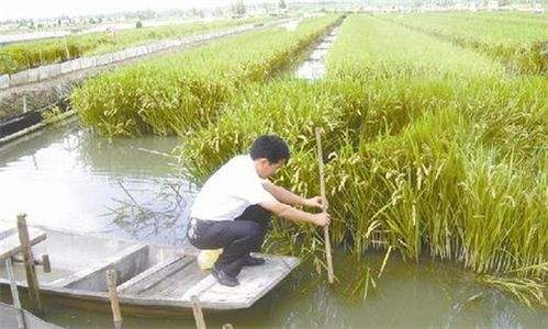 小龙虾养殖塘口怎样种植水草