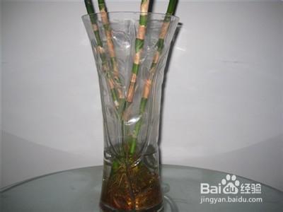 水培富贵竹怎么生根快图片